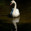 A graceful white swan is reflected by the setting sun.