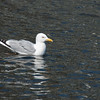bird; herring gull; wildlife; spring 2014; wisconsin; darlene jansen photography;
