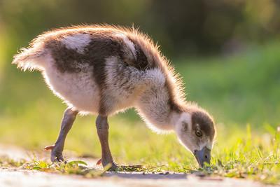 Cute gosling...