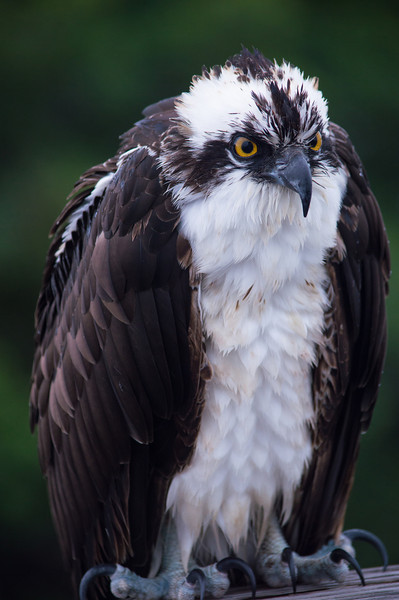 Osprey, Ding Darling Wildlife Reserve, Sanibel, Florida