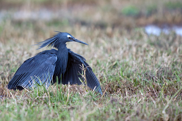 Black Heron Hunting #1