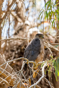 Cooper's Hawk guarding nest