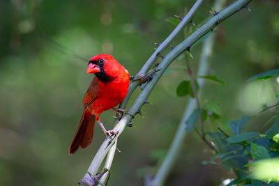 Northern Cardinal at Jesse H. Jones Park