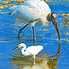 Wood Stork and Little Egret at feedimg time.