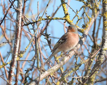 Branches, twigs and a Chaffinch at Otmoor 25 Feb 2018