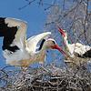 Весна - аисты / Spring - the Storks