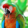 Scarlet Macau Parrot Bird Photo
