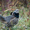 Ruffed Grouse - Riding Mountain National Park, Manitoba