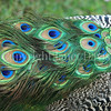 Pavo cristatus –Peacock tail feathers 4