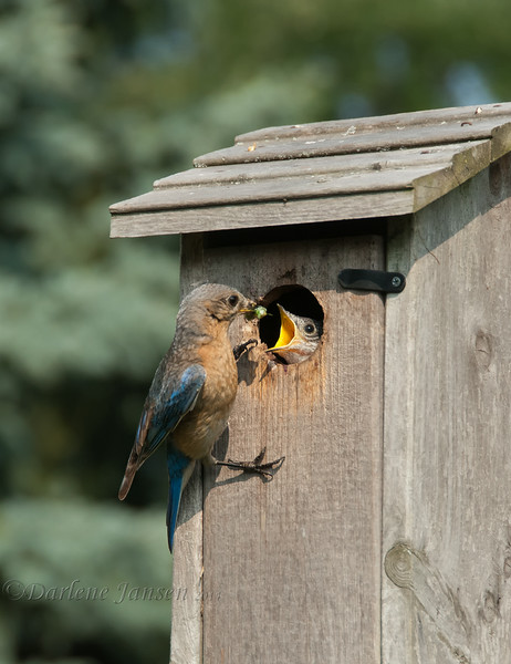 Observing this Eastern Bluebird family was both fun and a learning experience. They resided right in our immediate backyard and were comfortable with us always being around.<br /> <br /> This image was taken two days before all the young ones left the nest. Both parents were busy feeding from early morning to late in the day.<br /> <br /> Their meals included spiders, insects, berries, Monarch & Swallowtail caterpillars. The most exciting catch of the day, when the male Bluebird brought back a Green Darner dragonfly, which is large. <br /> The young ate quickly and with only the wings of the dragonfly remaining and the male positioning the narrow end toward the young, the wings were eaten also. I expected the wings to be removed thinking it would be to difficult for a young bird to swallow, little did I know :)