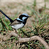 Superb Blue Fairy Wren, The Spit, Qld,