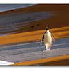 Yellow Eyed Penguin