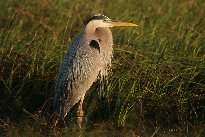 Great Blue Heron #13