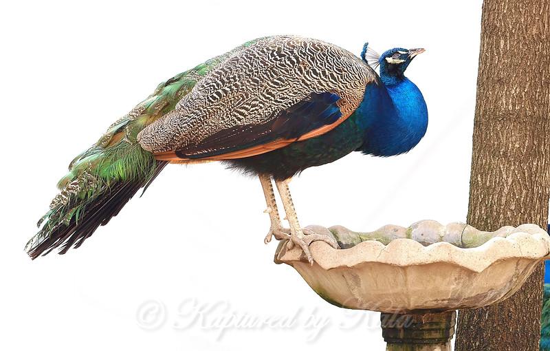 New Bird At The Birdbath