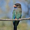 Dollarbird, The Federation Walk, Gold Coast, Queensland.