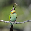 Rainbow Bee-eater with Lunch, The Spit, Gold Coast. Qld.