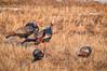 Wild Turkey, Meleagris gallopavo