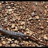 Mummified!  Rough-skinned Newt—Taricha granulosa
