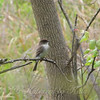 Eastern Phoebe At The Trinity River Audubon Center