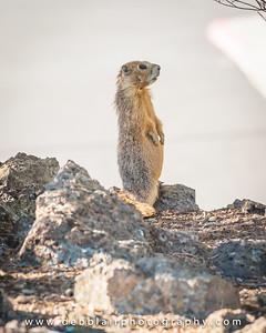Marmot - Rock chuck 1