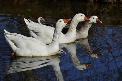 Anatidae -  Chen caerulescens - Snow Goose two white morph adults and one blue morph adult