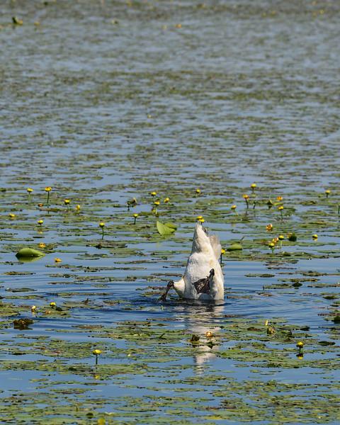 Swan Bobbers at Crex