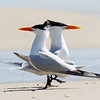 Male Royal Terns Strutting to Attract Females, Bald Point State Park, FL
