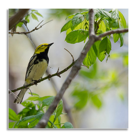 BlackThroated Green Warbler looking above and beyond