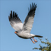 Pale Chanting Goshawk #1