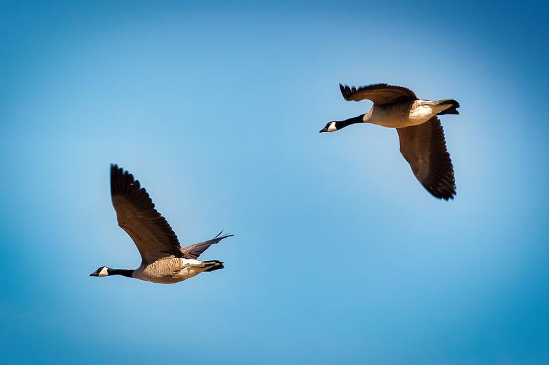 Spring Geese