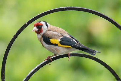 Goldfinch Arched