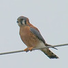 Handsome Male Kestrel