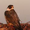 Peregrine  Falcon at the beach #2<br /> <br /> 3rd Place 2009 Wildlife in North Carolina Photo Competition Youth Category.