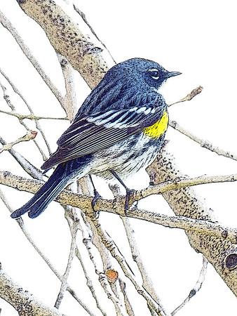 Yellow-Rumperd Warbler