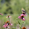 Spinus tristis – American goldfinch on Echinacea 4
