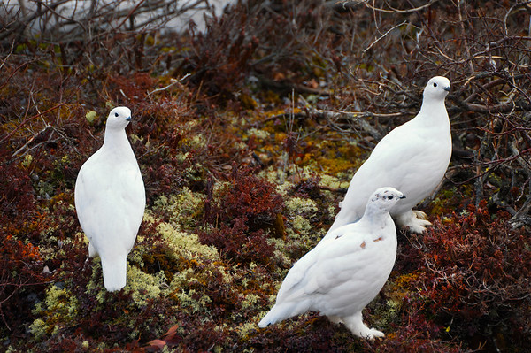 Willow Ptarmigan - Churchill, Manitoba