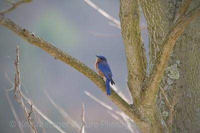 Eastern bluebird, Little Buffalo State Park, Newport Pennsylvania