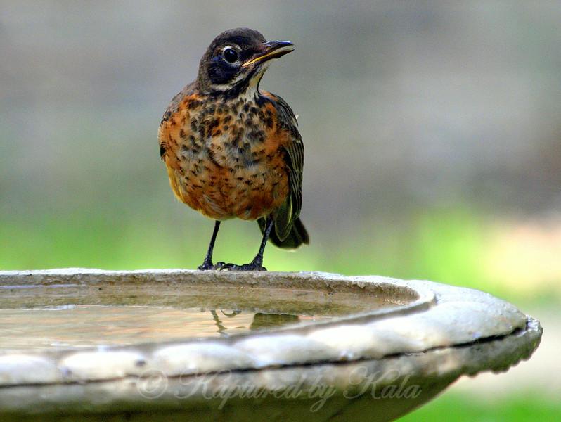 Juvenile Robin View 2