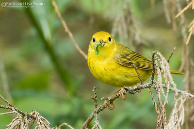 """""""With Snack"""" Male Yellow Warbler"""