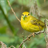 """With Snack"" Male Yellow Warbler"