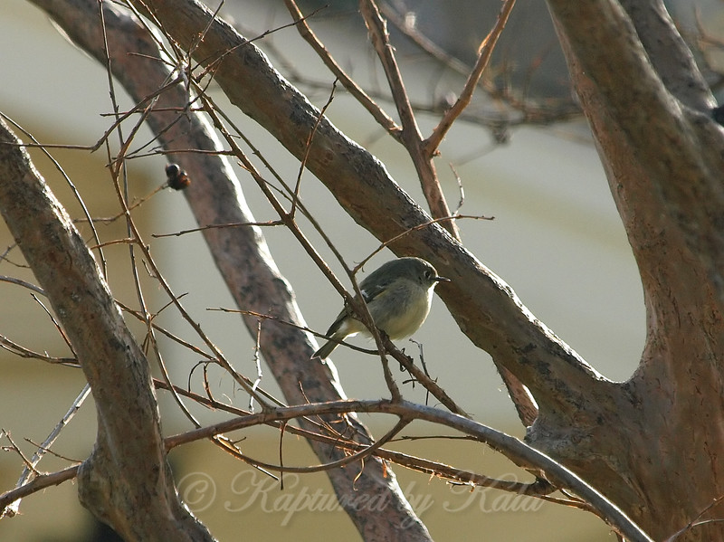 Ruby-crowned Kinglet View 2