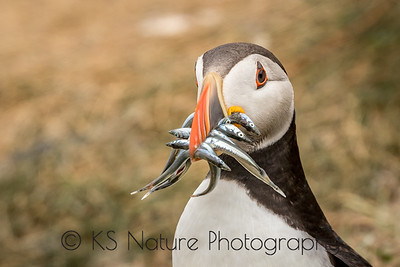 Puffin with a snack