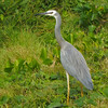 White-faced Heron,
