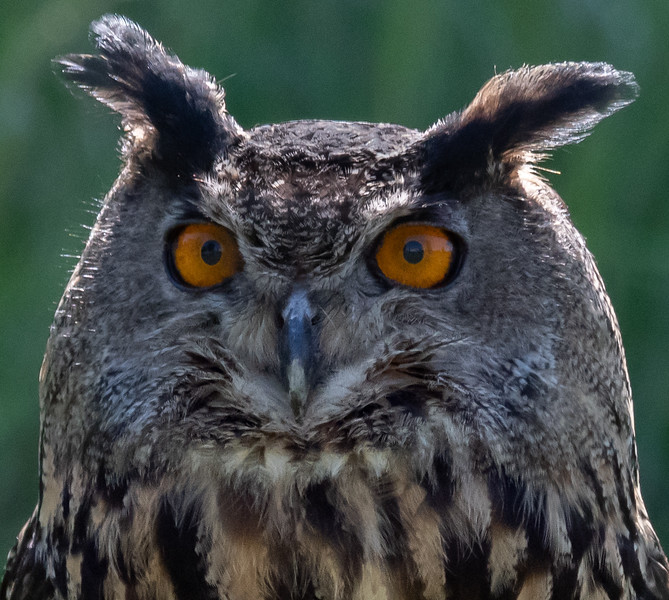 Eurasian Eagle Owl close up