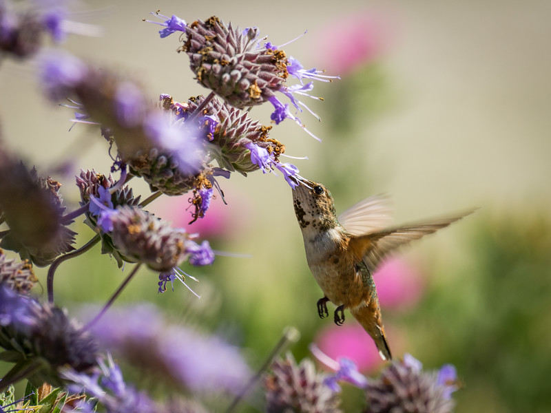 Hummingbird in Lavender