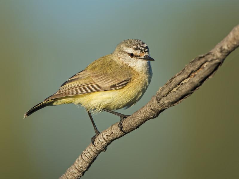 Yellow-rumped Thornbill, Federation Walk Coastal Reserve