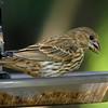 Female House Finch Enjoying Seeds