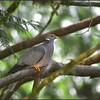 Band-tailed Pigeon ~ Columba fasciata