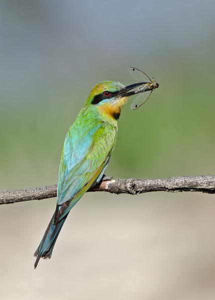 Rainbow Bee-eater with a Cicada, Federation Walk, Gold Coast, Queensland.