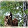 Hungry Hairy Woodpecker